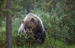 Beware: Bears Eat Wild Huckleberries Too!