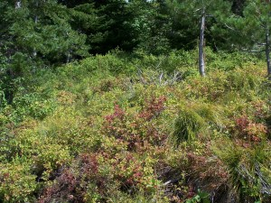 Huckleberry Producers Struggling with Summer Conditions