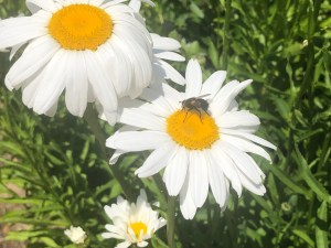 Lenda-daisy