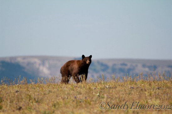 Black Bear, July 2012