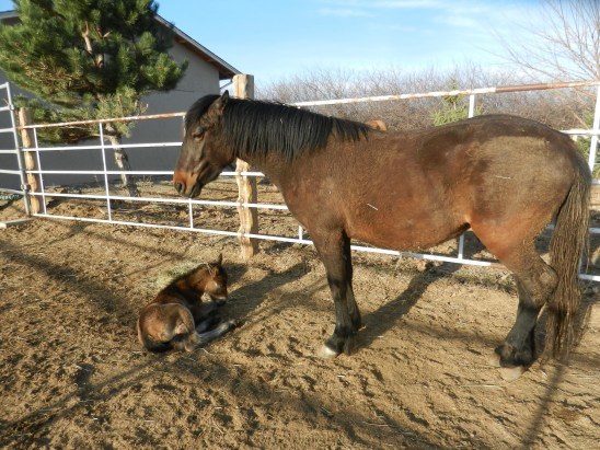 Katrina (Swallow) and her new foal, April 3, 2013