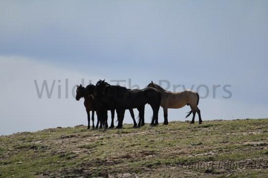 The bachelor stallions take a break.