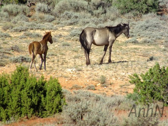 Kitalpha and her foal, July 21, 2013