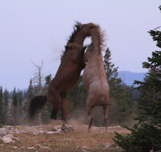 Gringo and Tecumseh