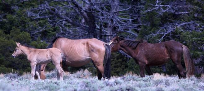 Helenium and her new foal along with her yearling daughter Noble.  Photo by Nancy C.