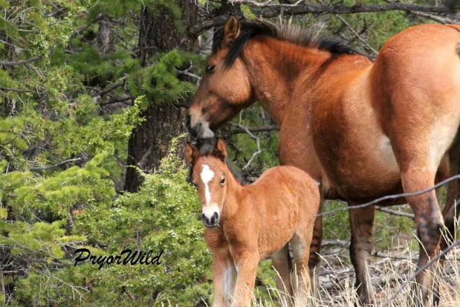 Innocentes and her new foal.  Photo by Steve Ceronni.
