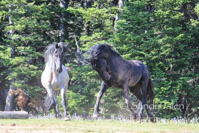 Stallion Action, July, 2013