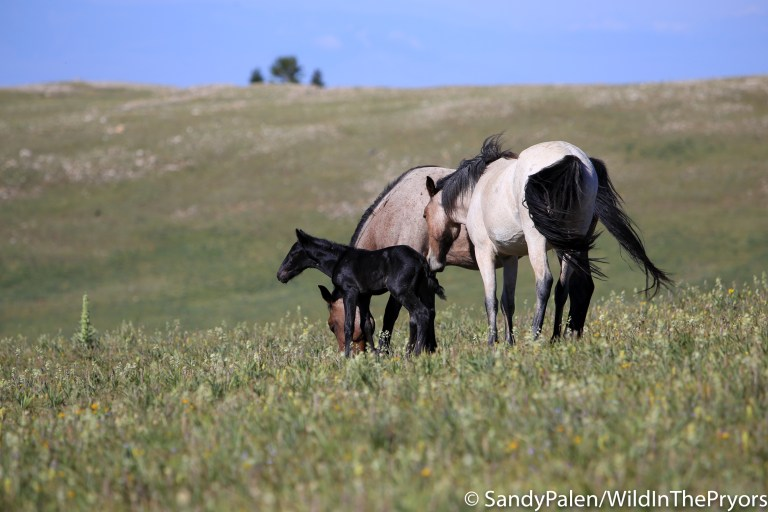 Pryor Mountain Wild Horses – Wild in the Pryors