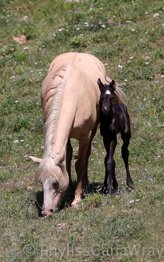 Wild in the Pryors – A Blog about the Pryor Mountain Wild Horses