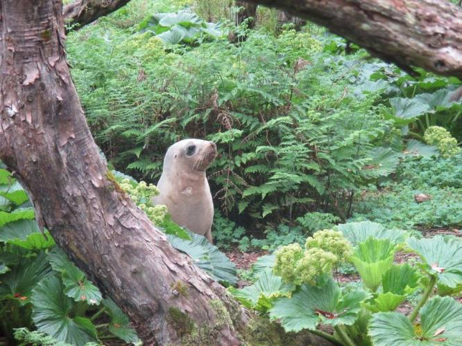 Female sea lion in the Rata forest