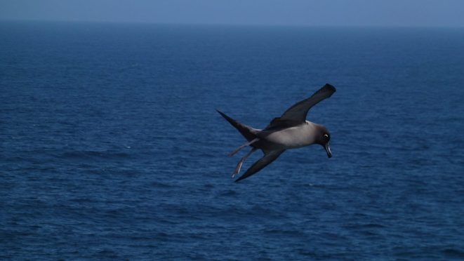 Light Mantled Sooty Albatross soaring above the cliffs