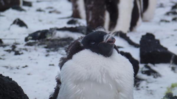 Molting Edelie Penguin