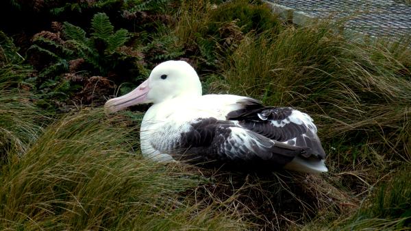 Southern Royal Albatross on its nest