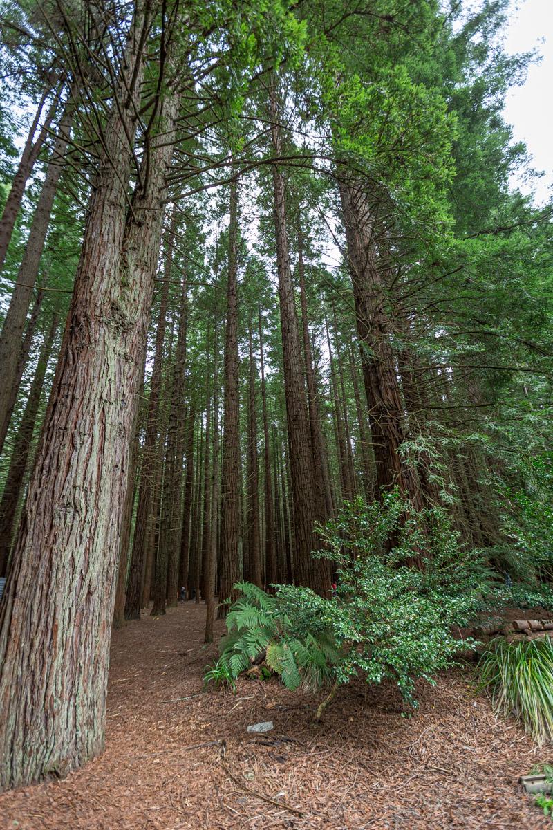 The Redwood Treewalk near Rotorua  on the North Island of New Zealand.