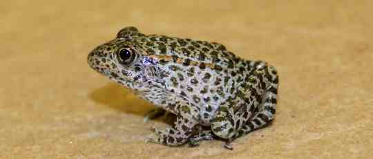 Image result for images dusky gopher frogs