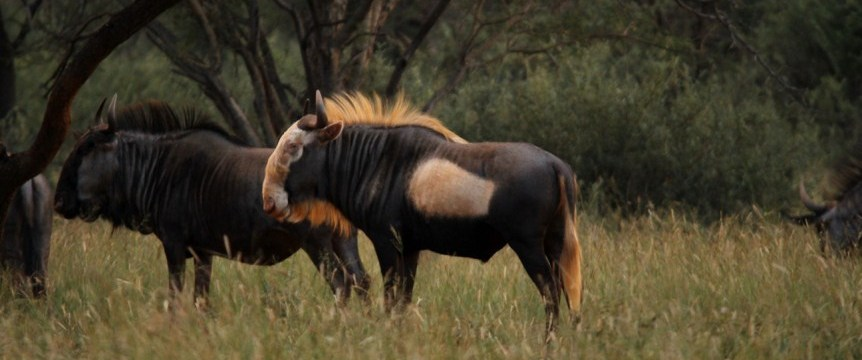 King wildebeest