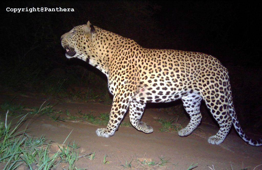 leopard identification techniques in