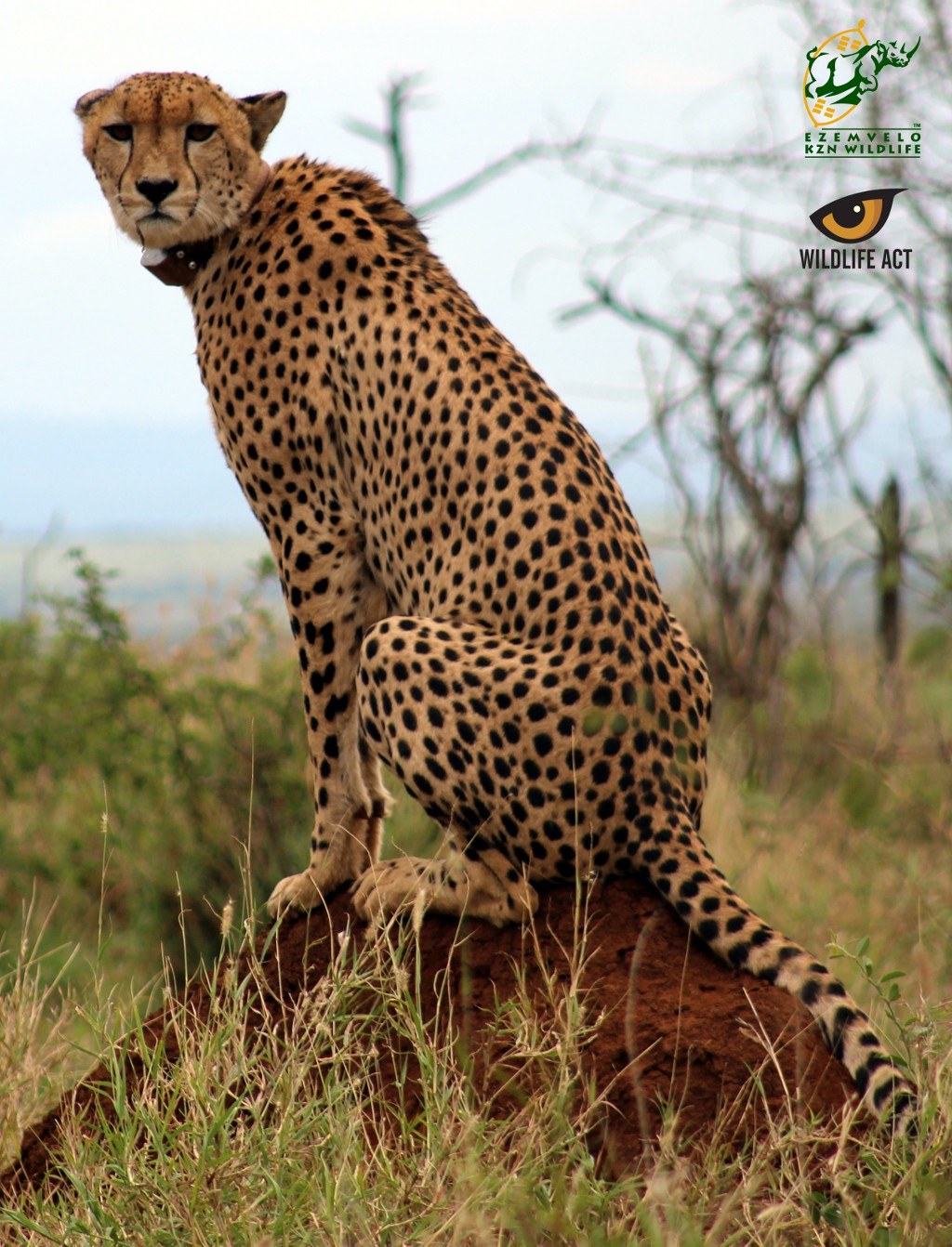 why do cheetah have