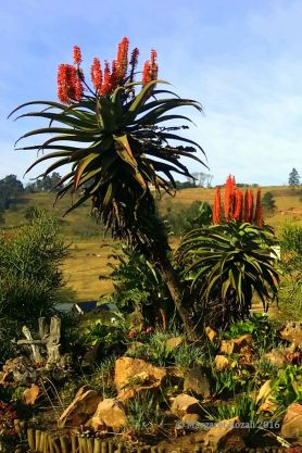 Love seeing these Aloe ferox along the main highways. South Africa has so many wonderful indigenous plants.