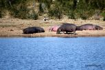 Hippos sunbathing on the bank of this watering hole in typical Kruger style.