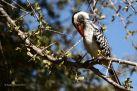 Southern red-billed hornbill preening.
