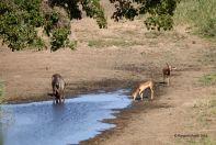 Waterbuck and impala at a watering hole