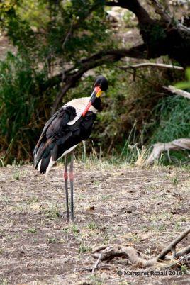 Beautiful saddle-billed stork. Love this bird!