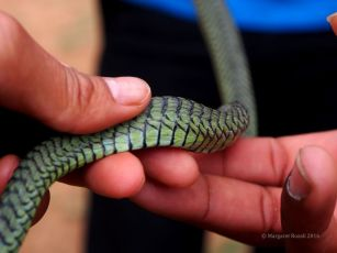 This snake felt quite different from the smooth silky python. It was a bit rougher.