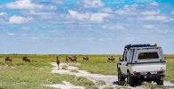 Mini migration of wildebeest