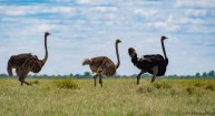 1 male ostrich with 2 females chasing insects