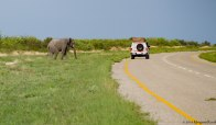 Elephants roam and cross highways here in Botswana. For reals!