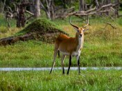 An antelope that lives only around swampy areas. It has strong hind legs to propel itself through the slush. They are bigger than impala.