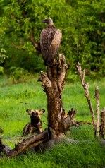Wild dog & vulture