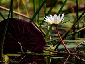 Okavango lily