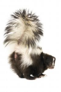 Skunk Removal