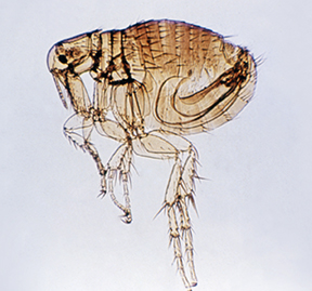 Rodent flea capable of transmitting typhus. Photo by CDC.