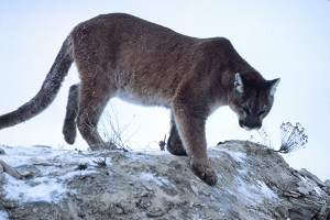 Mountain lion (Puma concolor). Photo by Eeekster, Wikimedia Commons.