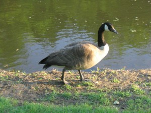 A Canada goose (Branta canadensis). Photo by Stephen M. Vantassel.