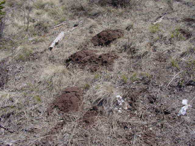 Pocket Gophers Archives - Wildlife Control Consultant