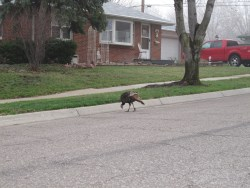 Wild turkey in a residential area. Photo: Stephen M. Vantassel.