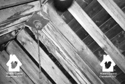 Attic rafters showing bat urine stains at the peak and stalactites made from the crystals of dried bat urine.