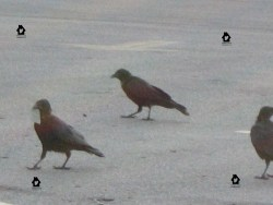 Crows in a parking lot.