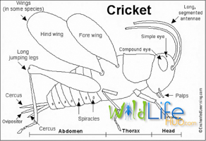 Cricket Breeding Manual