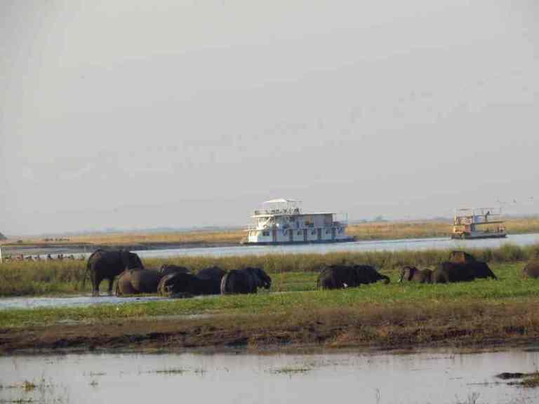 Elephants in chobe river