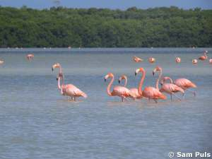 celestun flamingo