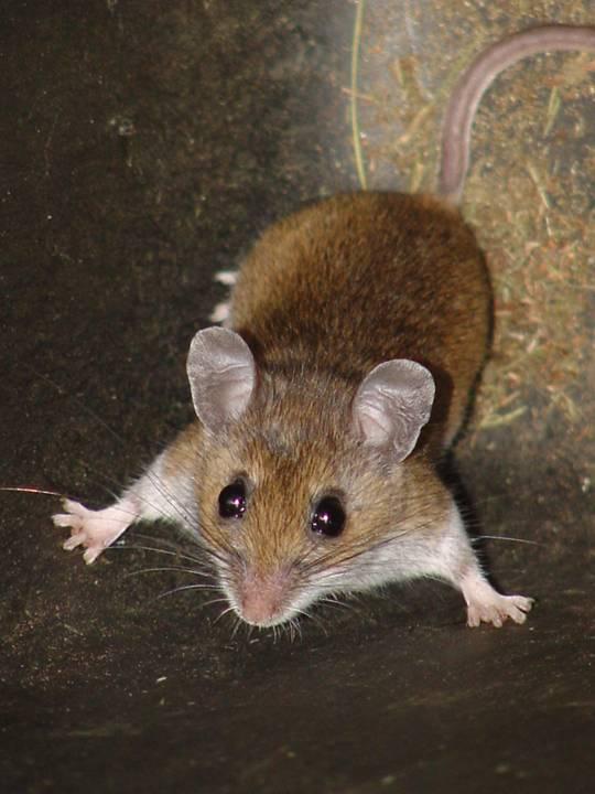 Deer Mouse   Wildlife in Ontario