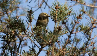 Goldcrest_-3541_lowRes12