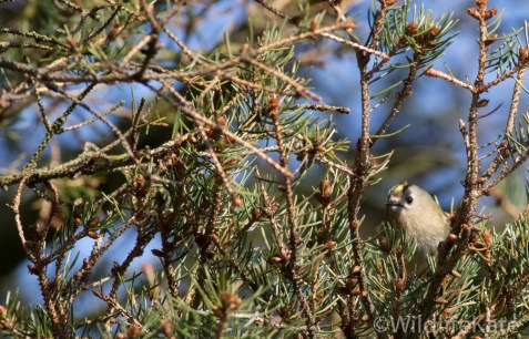 Goldcrest_-3562_lowRes15