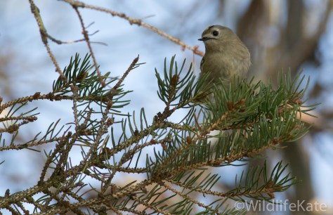Goldcrest_-3570_lowRes16