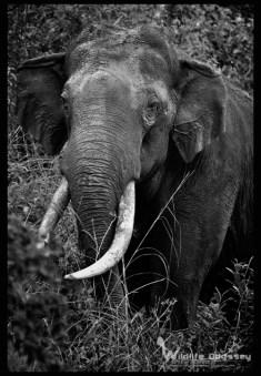 asiatic-elephant_9713077101_o